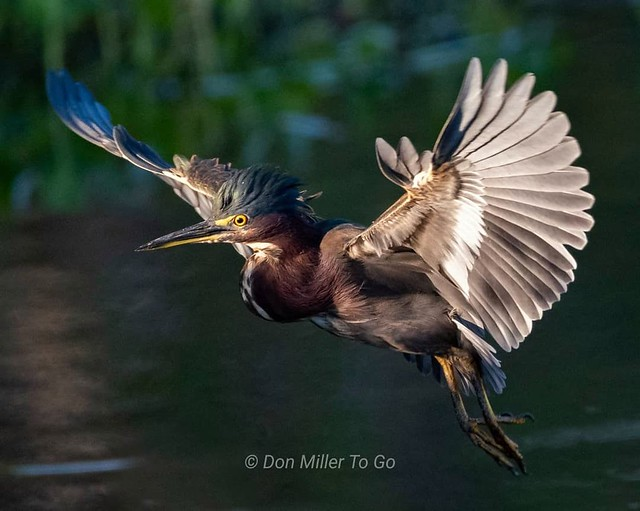 Green Heron on Approach