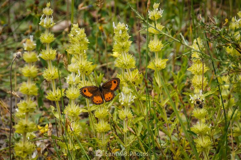 Lobito listado macho y abejorro sobre Sideritis provincialis