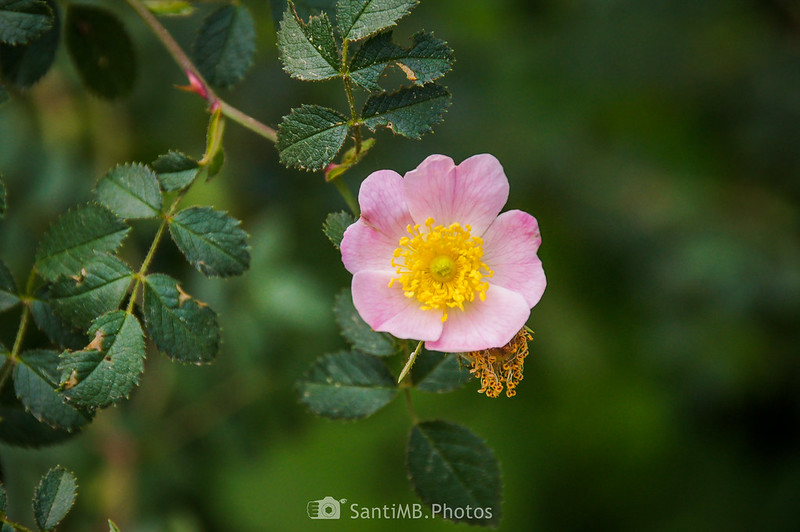 Rosa mosqueta en el camino de Coaner