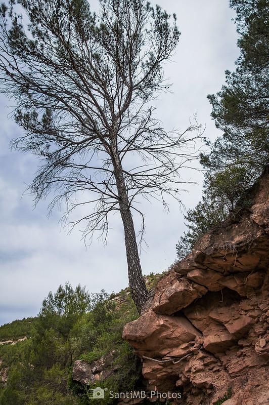 Pino en el límite de una roca junto al camino de Coaner