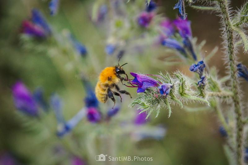 Bombus pascuorum en flor de viborera en el camino de Coaner