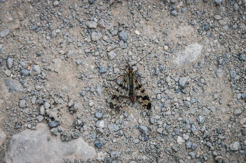 Mosca escorpión en el camino de Coaner