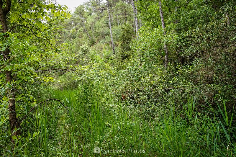 Espesa vegetación sobre la riera de Coaner