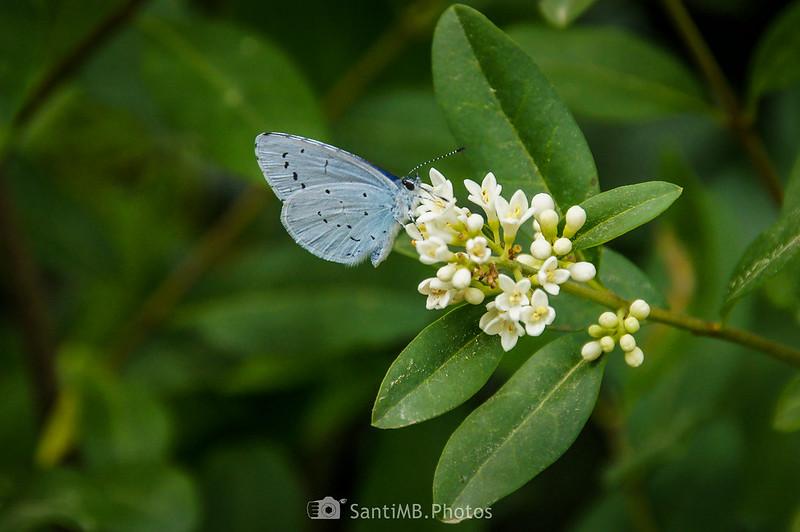 Mariposa náyade sobre flores de aligustre