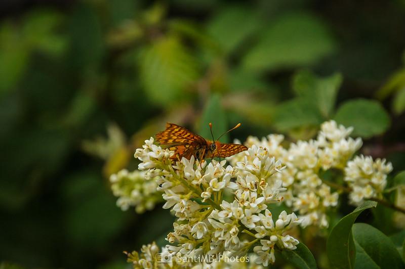Mariposa sobre flores de aligustre cerca de la riera de Coaner
