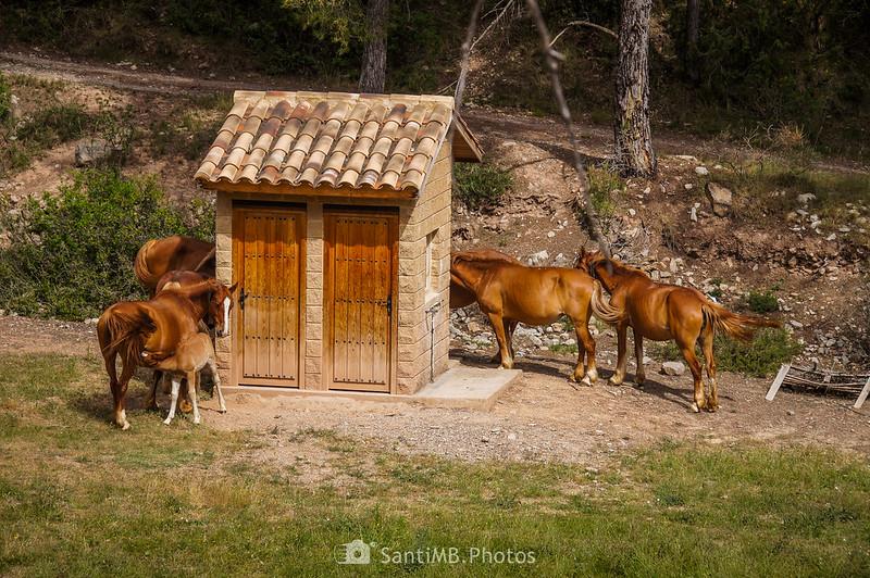 Caballos en el Camp del Rector de Coaner