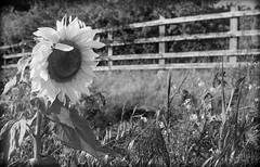 Sunflowers a black and white perspective.