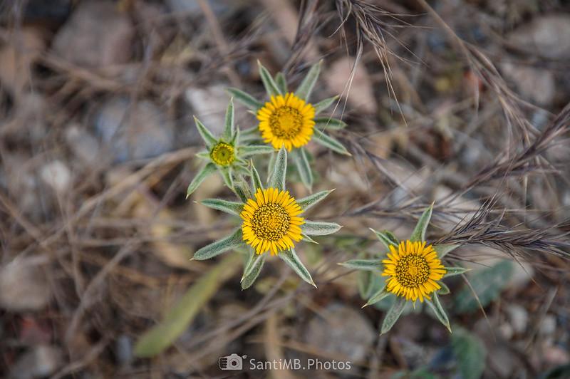 Flores de Pallenis spinosa en el camino de Coaner