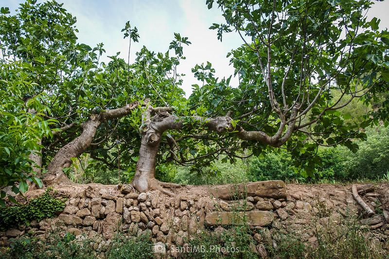 Higueras sobre un muro de contención en los Horts de Can Serra