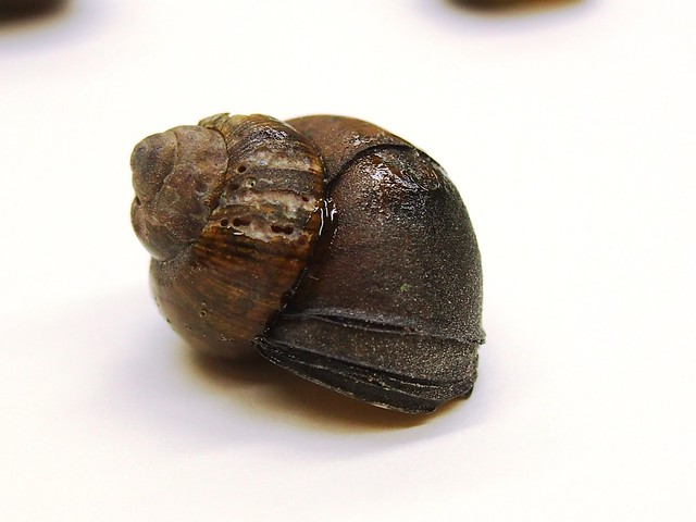 Chinese Mystery Snail5