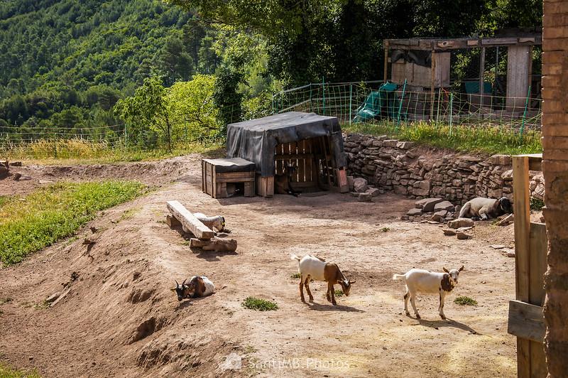 Corral con cabras detrás de la plaza de Coaner