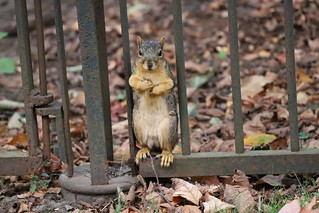 108/366/4125 (September 27, 2019) - Fox Squirrels in Ann Arbor at the University of Michigan - September 27th, 2019