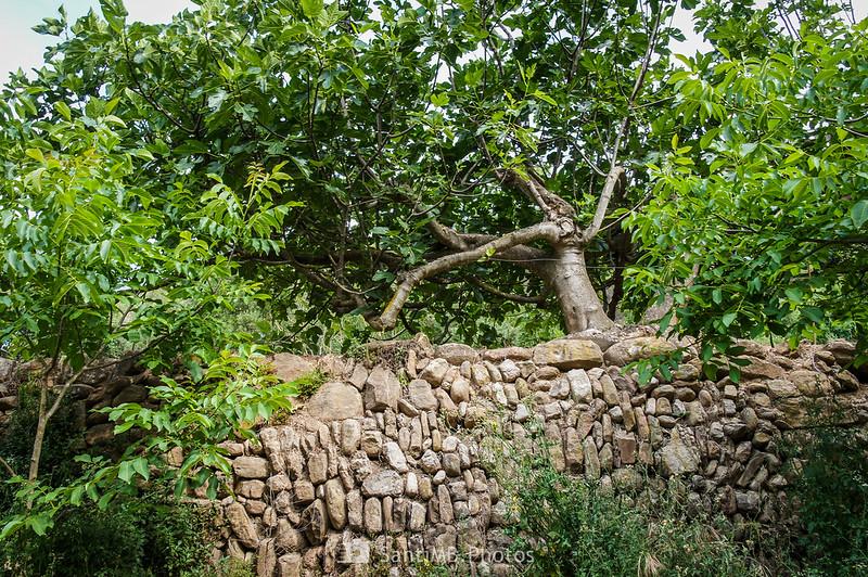 Vieja higuera junto a un muro de contención en los Horts de Can Serra
