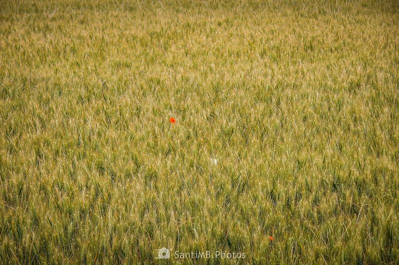 Campo de trigo de La Ribera con una amapola