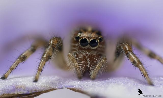 Araña saltarina - (Flia. Salticidae)