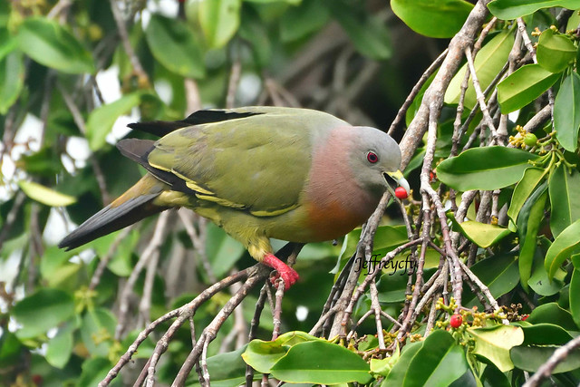 紅頸綠鳩, Pink-necked Green Pigeon, Treron vernans,