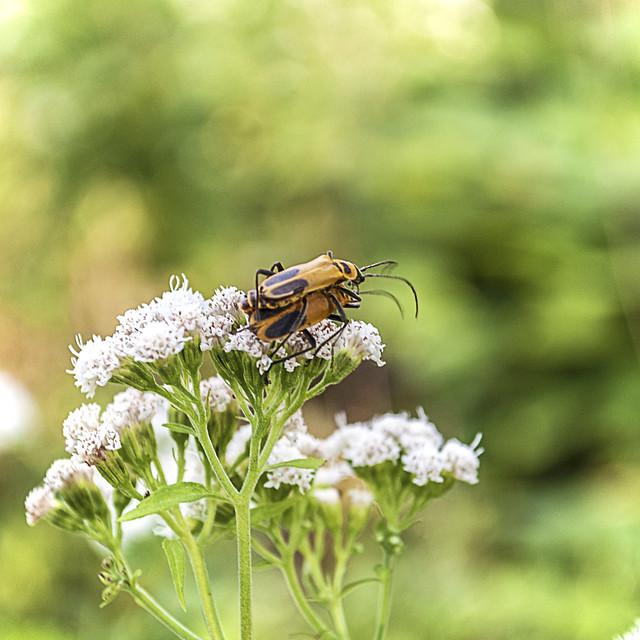 Goldenrod Soldier Beetles on Late Boneset Flowers