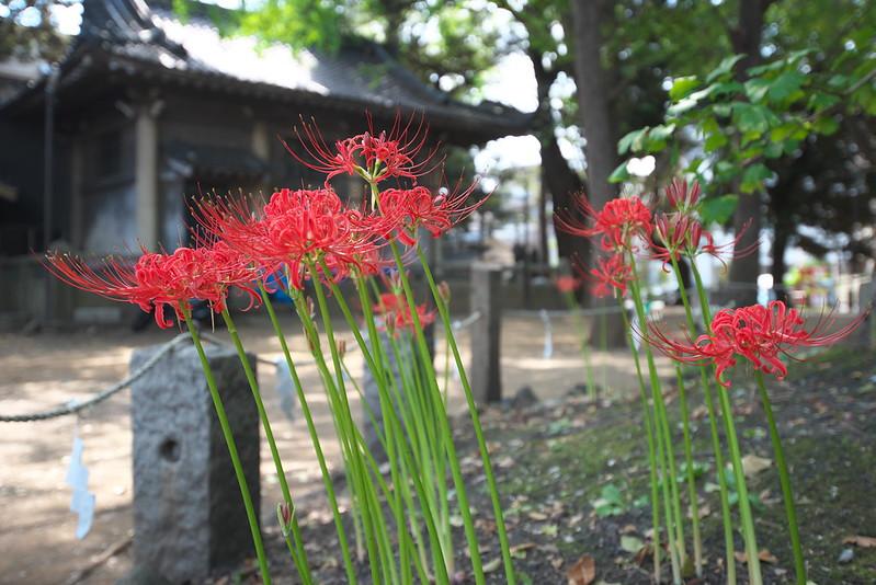 諏方神社の曼珠沙華