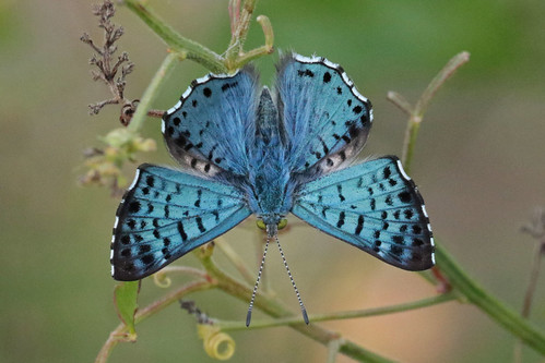 Blue Metalmark - Male