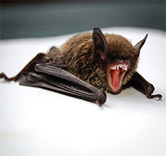 The bat has been linked with a number of zoonotic diseases such as SARS and Ebola. Photo by Todd Cravens on Unsplash.