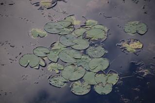 Vesiroosid / Nymphaea alba / European white water lily / White water rose / White nenuphar