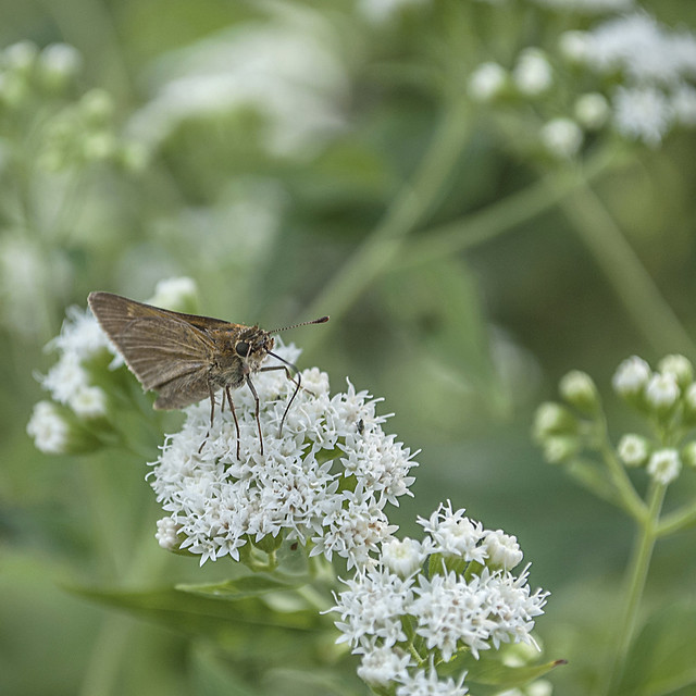Skipper Butterfly on Late Boneset Flower