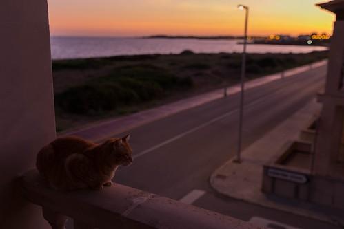 canon canoneos eos6d mallorca rubio sarapita sigma sigma35mm animal atardecer cat gatito gato kitten mascota pet puestadesol sunset