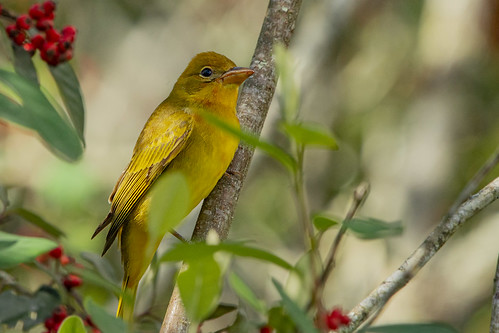 A Summer tanager who migrate from North America to South America without asking for asylum!