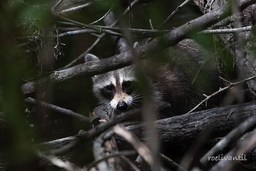 Wasbeer / Raccoon