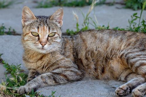 traveldestinations travel outdoors cat caucasus azerbaijan colorimage eurasia horizontal lahic animal ismaillidistrict