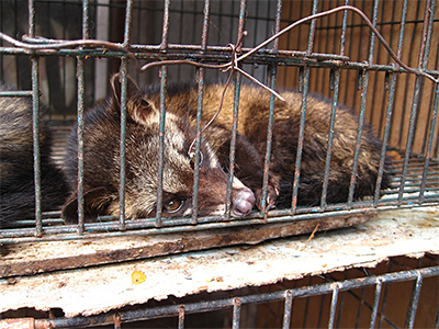The civet cat is closely associated with the outbreak of SARS in Asia.