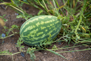 Close-up of a water melon in the field