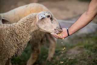 Shepherd hand feeding his sheep corn