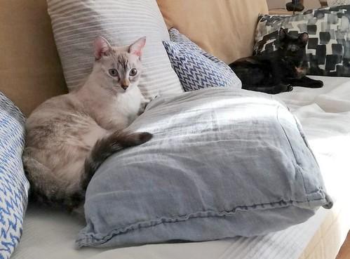 Karina, gatita siamesa tabby preciosa, tímida y muy juguetona esterilizada nacida en Marzo´19, en adopción. Valencia. ADOPTADA. 48807329621_9c3bd39764