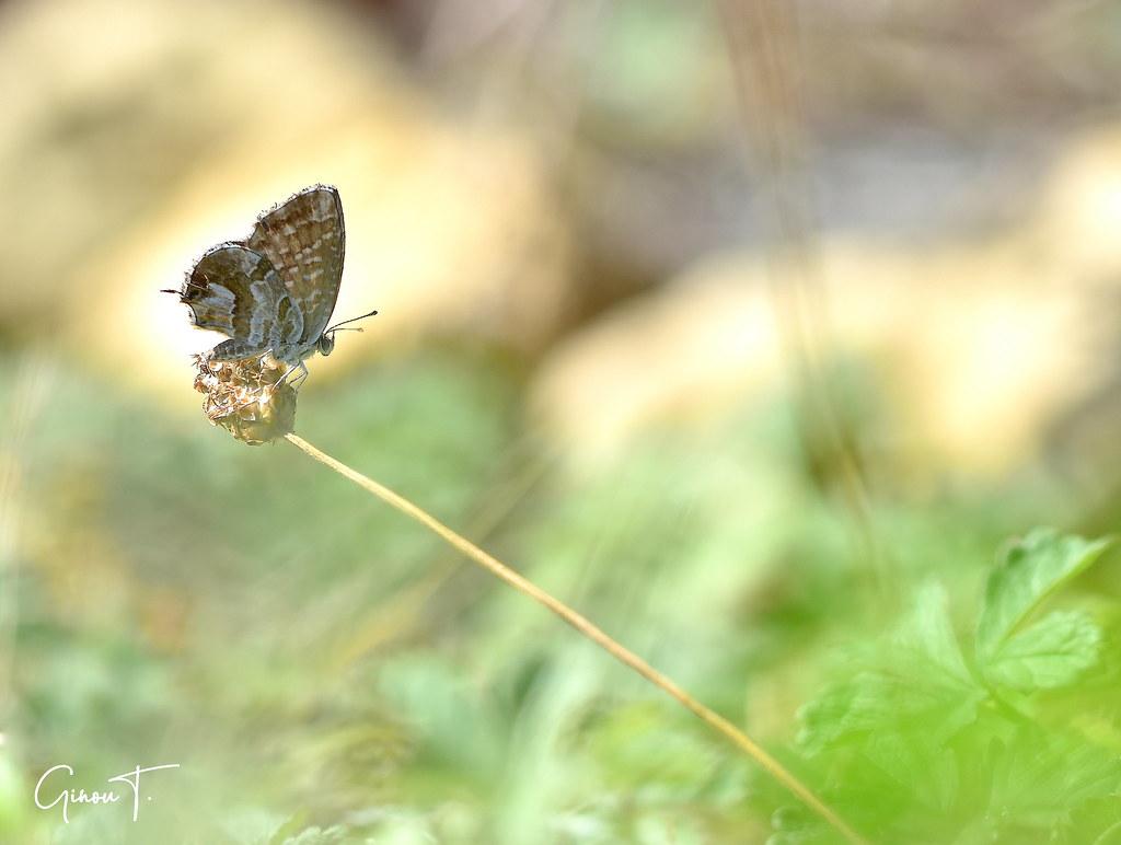 Brun des pélargoniums (Cacyreus marshalli).