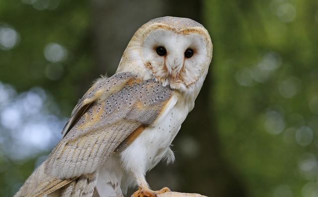 Barn Owl On The Hunt !!