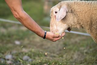 Young ram beeing hand fed corn