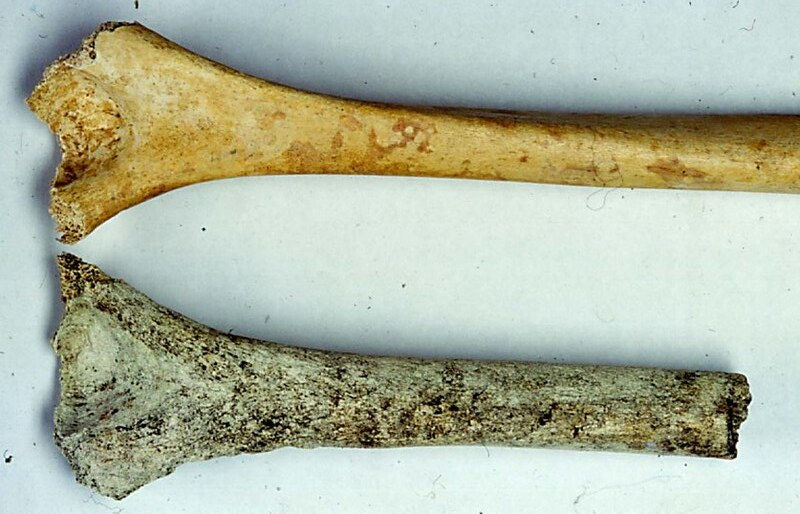 Two arm bones, one with greenish blue and black staining and damage to the outer surface caused by plant and fungal activity