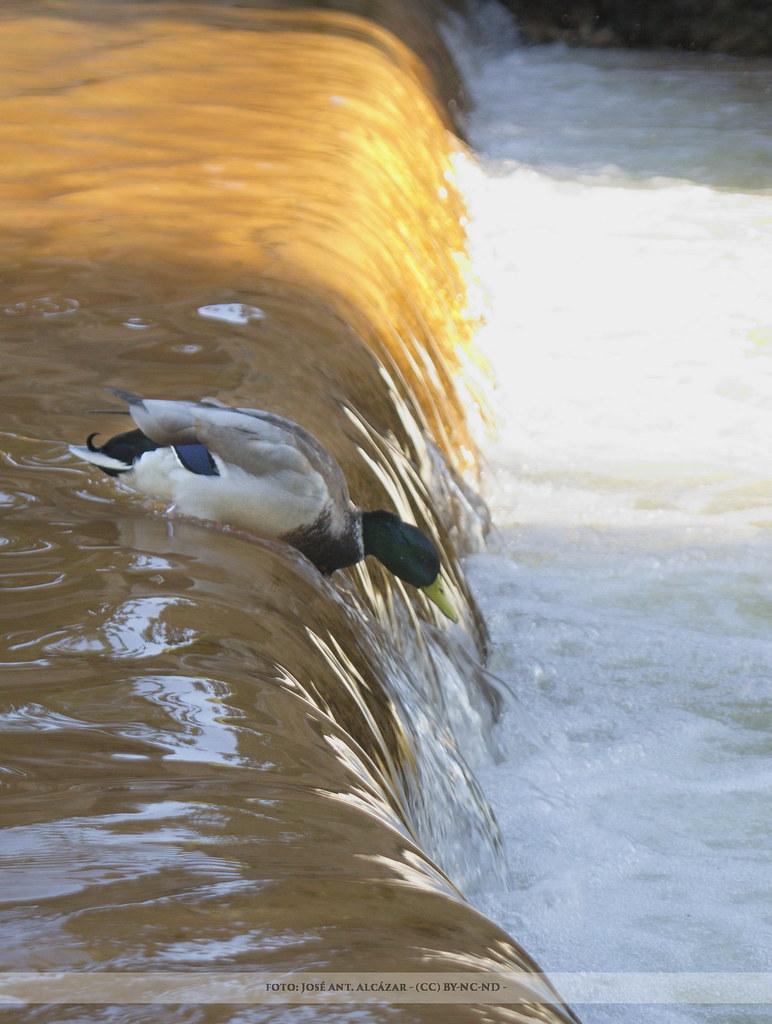Pato en un desnivel de agua