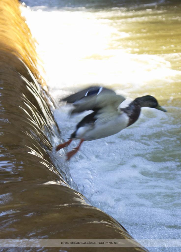 Pato saltando un desnivel de agua