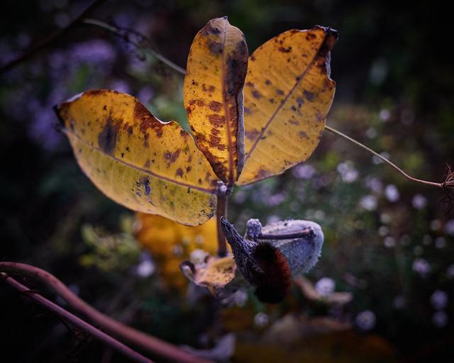 milkweed, at dusk, with caterpillar, 9-20-19