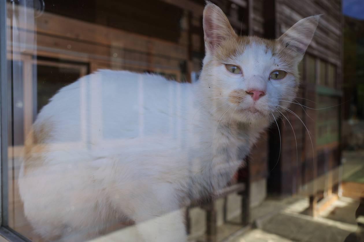 秋田駒ヶ岳八合目売店にいた猫