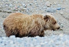 Coastal Brown Bear Cub In Stream Looking For Salmon (Ursus arctos)
