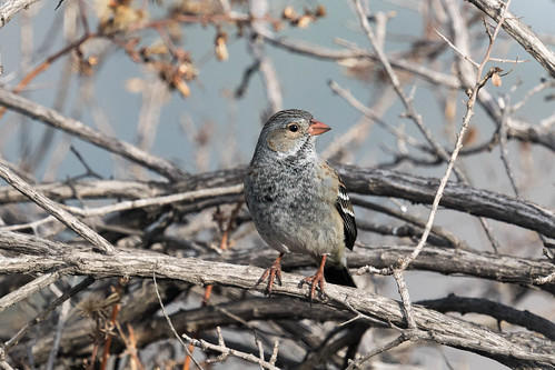 Mourning Sierra-Finch (Rhopospina fruticeti)