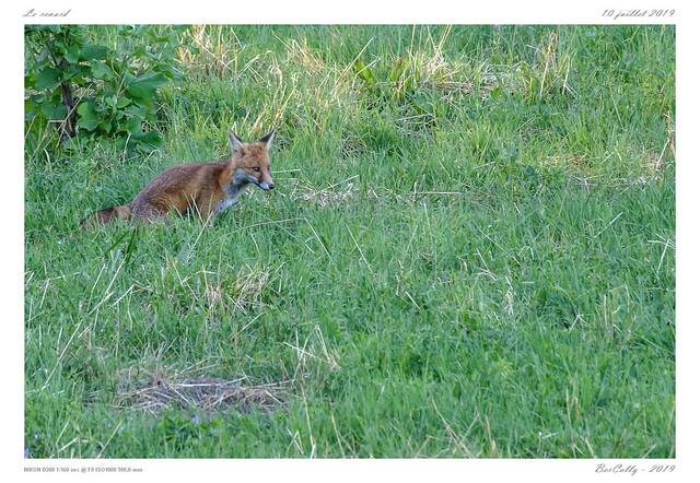 Le renard | fox