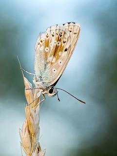 silbergrüner Bläuling - Polyommatus coridon