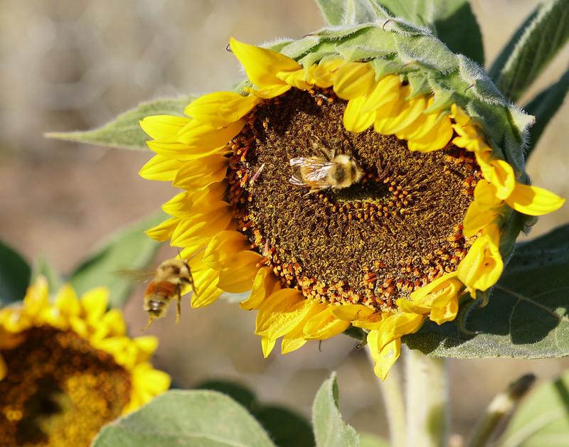 Incoming Bumblebee