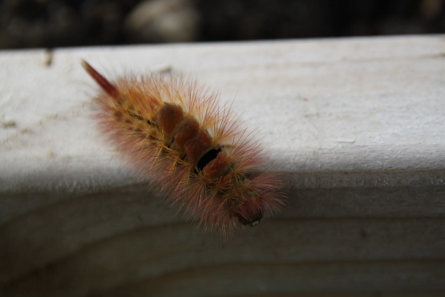 Caterpillar in Raised bed on my Allotment Today