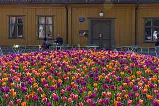 """An """"ocean"""" of tulips - Oslo Botanic Garden, Norway"""