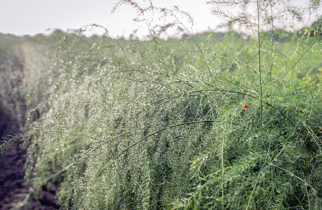 Dewy asparagus plants with one red berry from close
